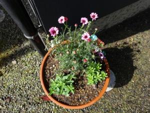 今日鉢に植えられました。