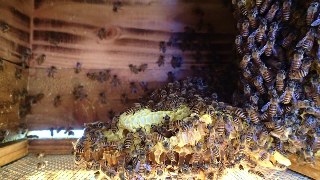 また落ちていました。右は縦のまま、もう蜂が壁にくっつけていました。