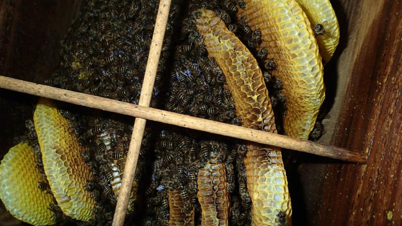蜂児出しがあった巣箱、前回より巣板が見えています。さて、どうなるのでしょう?