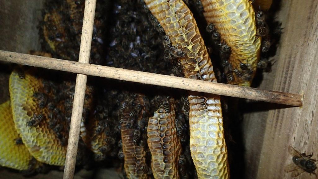 時々蜂児が出されている巣箱、蜂の数は少なくなっています。