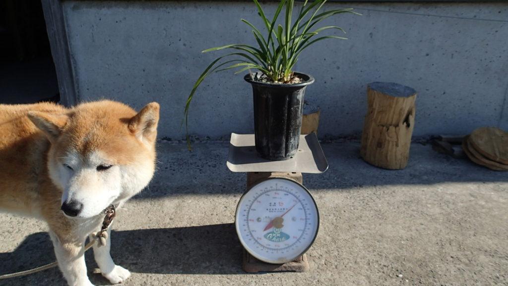 1kgを超えるのはこの秤で1kg内はデジタル秤で測定。
