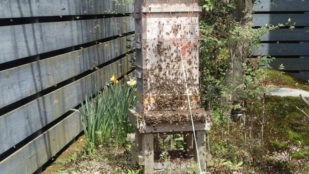 分蜂の始まり