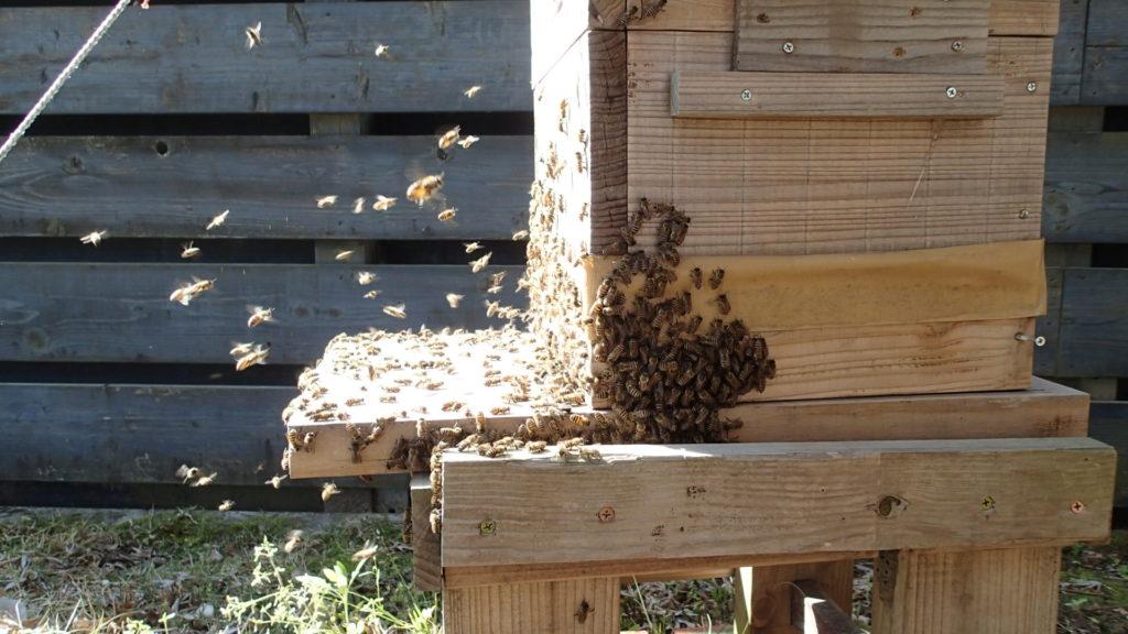 分蜂の始まりです。