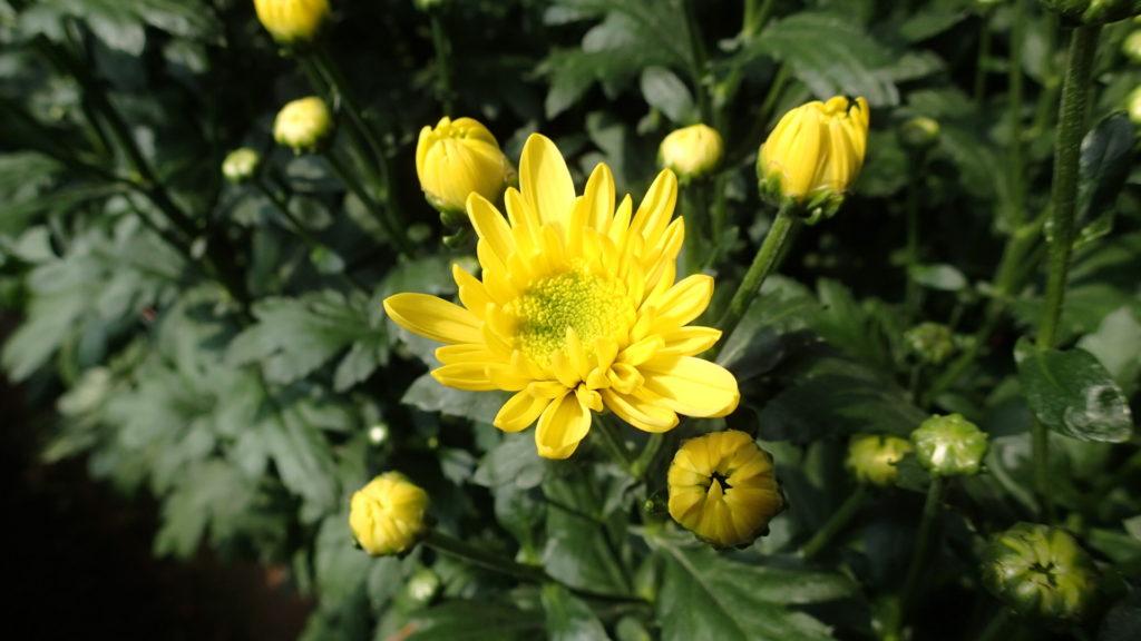 黄色の定番の品種、モナリザ・イエローです。