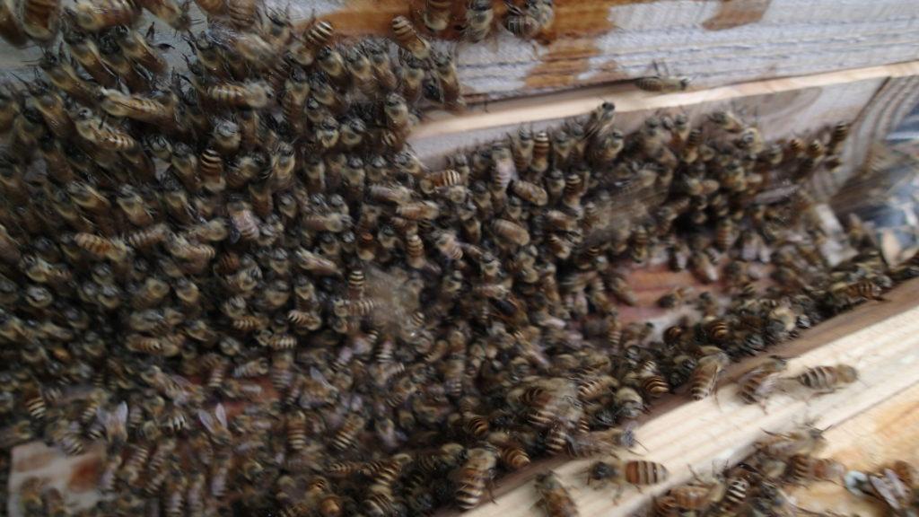 女王蜂、ぶれました。中央にいます。