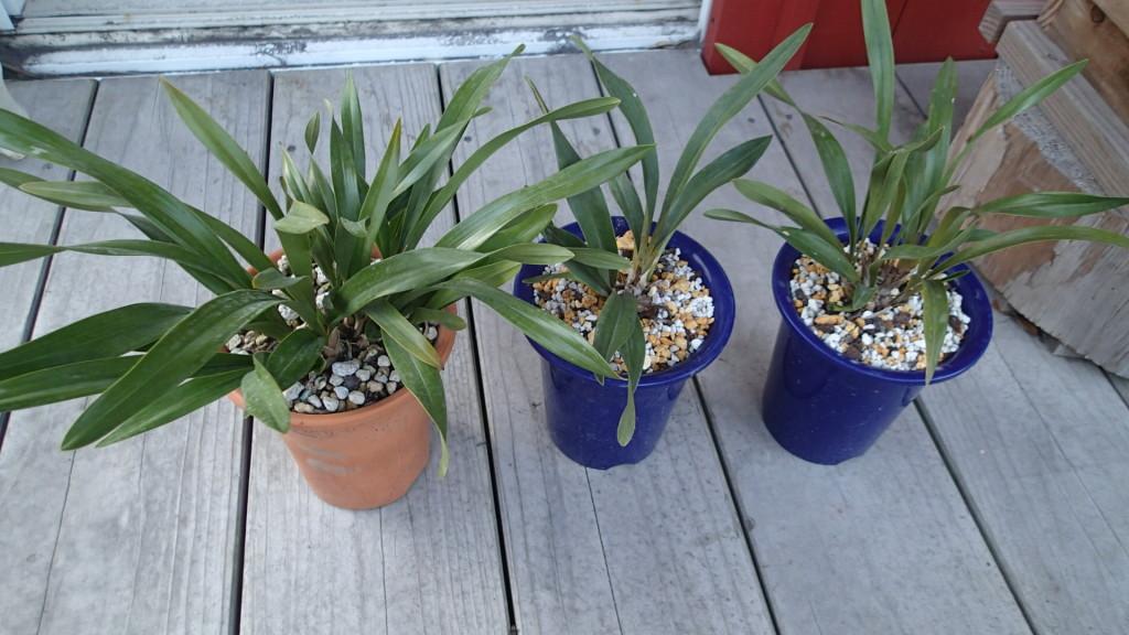 右2つが今回5号鉢に植え替えました。