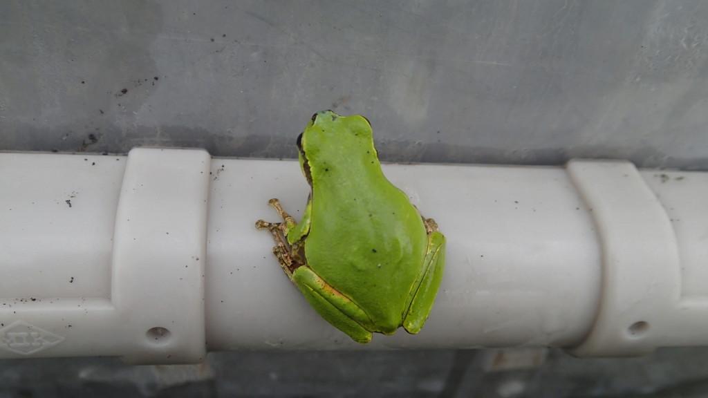 カエル君は雨を喜んでいるようです。