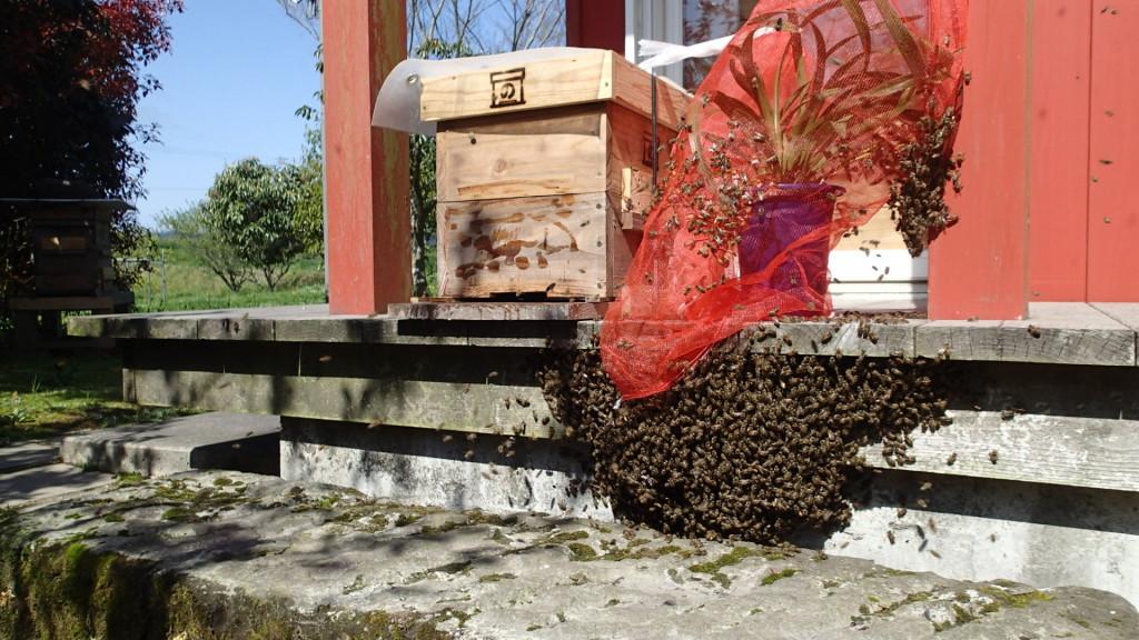 固まる場所が悪いので、蜂をすくって巣門にもってきたらまたばらけました。