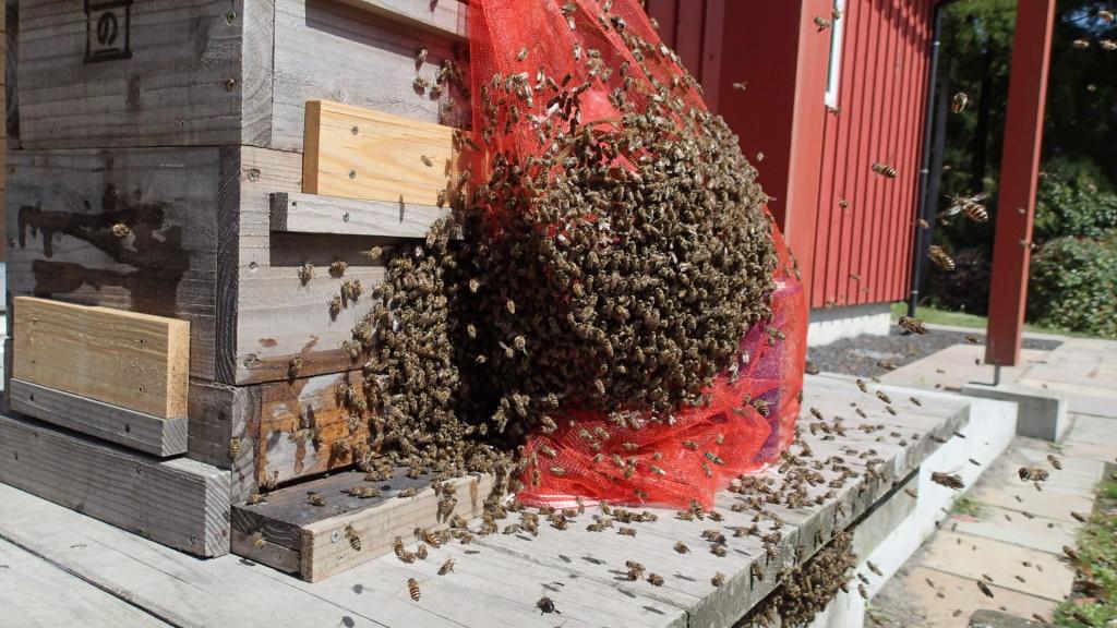 巣箱を替えてキンリョウヘンを近くに持ってきました。