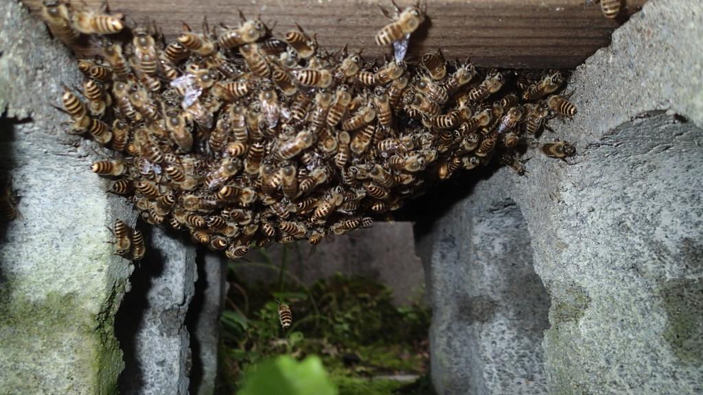 蜂場にこんな状態の巣箱、さて分蜂じゃないと思うけど...