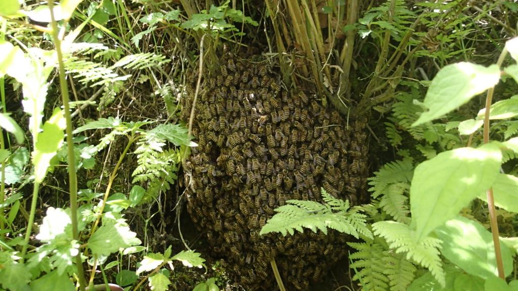 簡単には見つけられない!分蜂を見ていたからわかったんです。