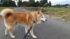 柴犬タロー15歳になる