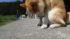 柴犬タローとアイボ