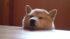 柴犬タローの瞑想