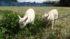 トカラ山羊