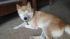 小食犬タロー、仰向け犬タロー